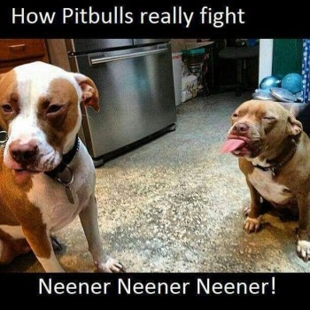 Pitbull fighting