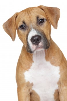 American Staffordshire Puppy On White Background