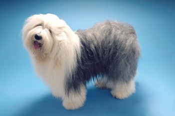 Full length side view of Old English Sheepdog standing on blue b