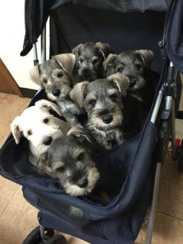 From the facebook page of Schnauzer Lovers