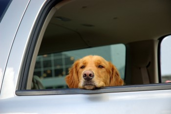 Bored Dog In A Car Window