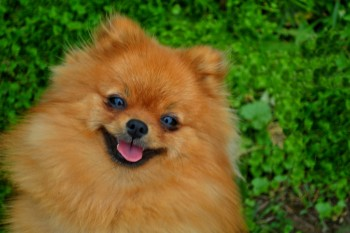 Smile Of Dog Pomeranian Spitz. Portrait Pomeranian Smiling Dog.