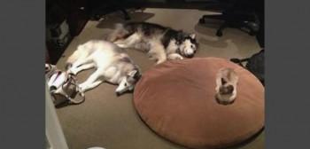 Husky bed