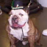 Silly Bulldog Hat Day # 1