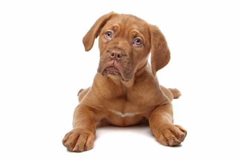 http://www.dreamstime.com/stock-photography-french-mastiff-puppy-image18381302