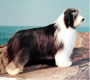 (Photo:  Westminster Kennel Club)