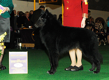 Celebre Journey to Chantryile (Belgian Sheepdog)