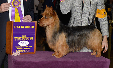 The Australian Terrier, Temora Say It With Bacon
