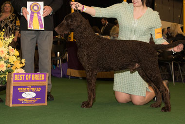 The Curly Coated Retriever, Sun Devil Ive Gotta Feeling for CudyNCae