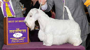 The Sealyham Terrier, Forlegd Zazzy-Severus
