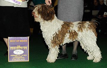 Jango CM2 (Spanish Water Dog)