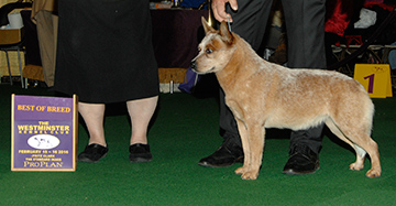 Kokopelli's Sobe It (Australian Cattle Dog)