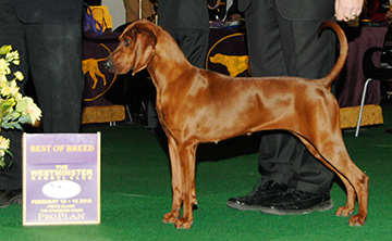 Twisted Creek Gentleman Start Your Engines (Redbone Coonhound)