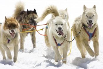 rp_bigstock-Dog-Sledding-3453451-350x233.jpg