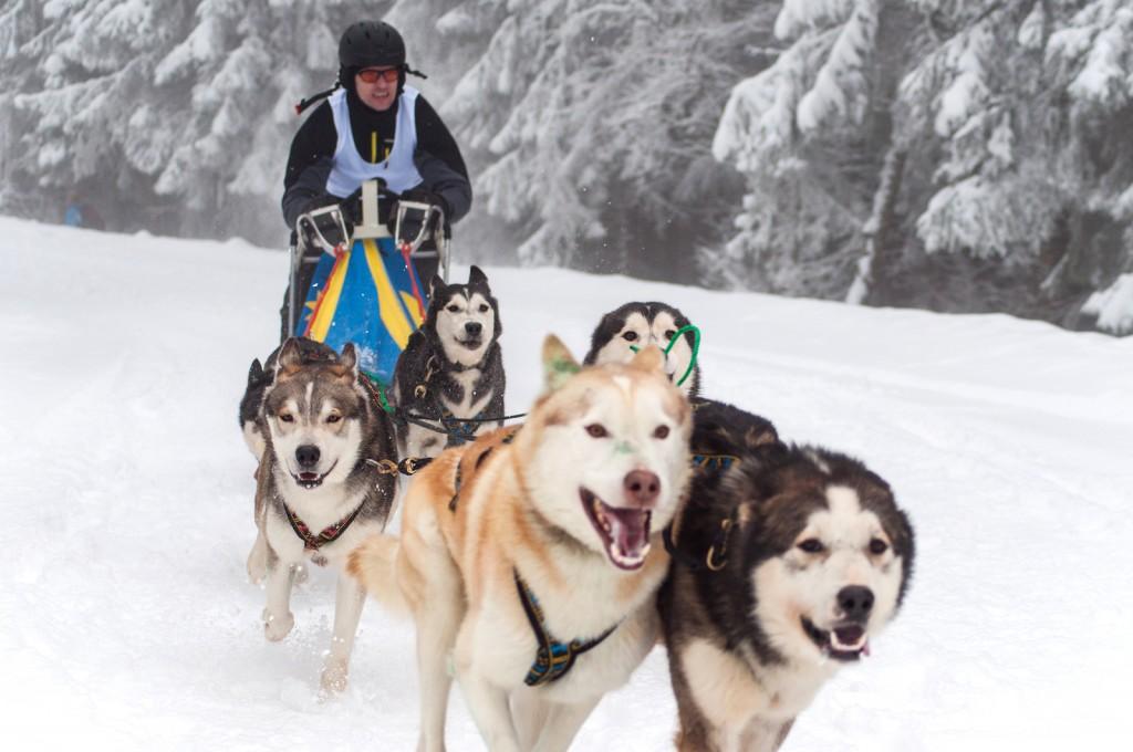 Dog Sledding With Husky Dogs