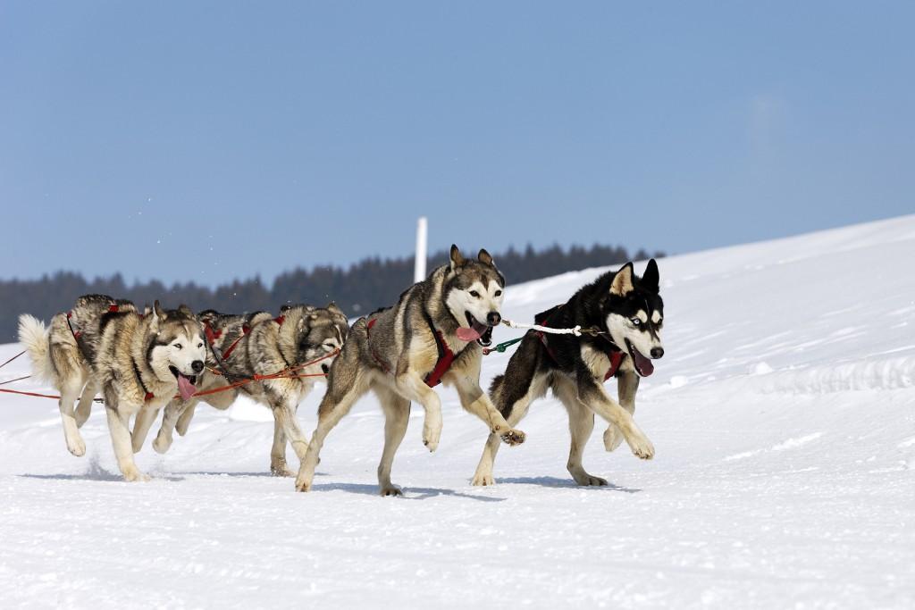 husky race 4