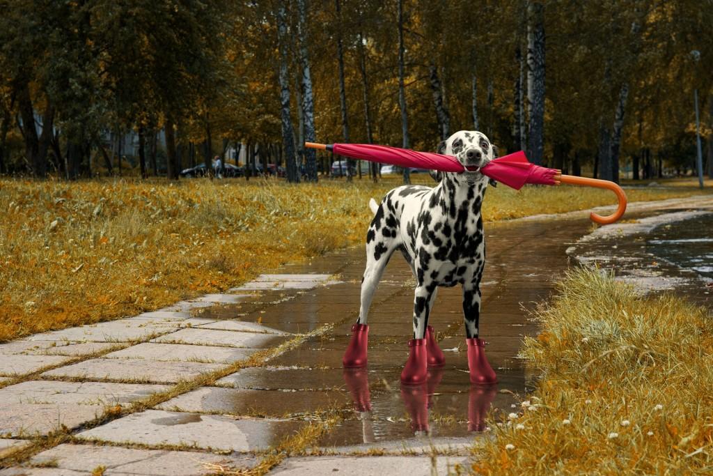 Dog walking with umbrella after autumn rain