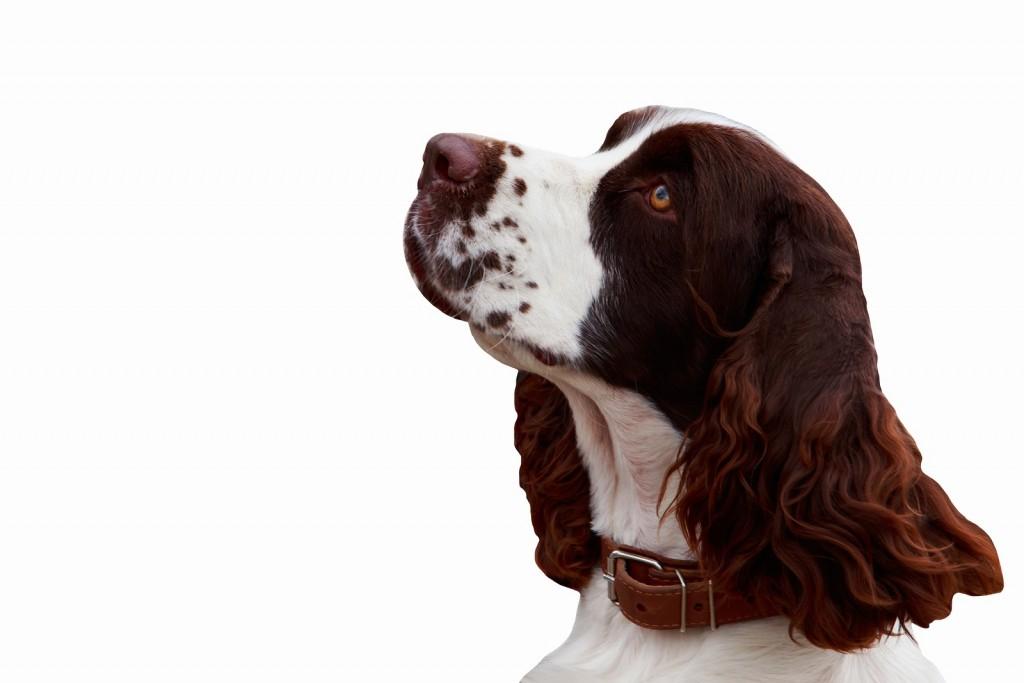 dog breed English Springer Spaniel on white background