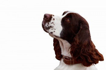 dog breed English Springer Spaniel on white background