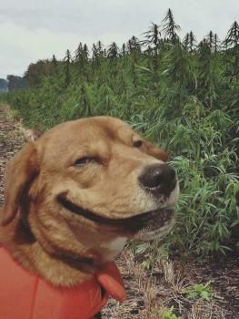 Dog weed