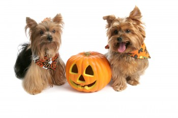 Yorkies At Halloween