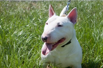 Miniature Bull Terrier Is Sitting In A Green Grass. English Bull