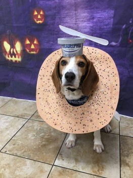 Beagle Cream Chz