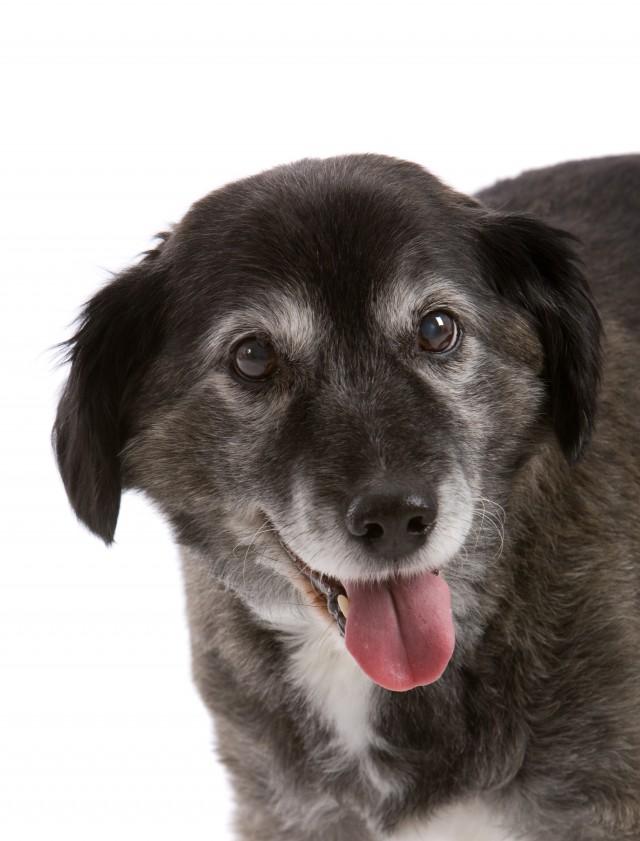 Happy Elderly Dog
