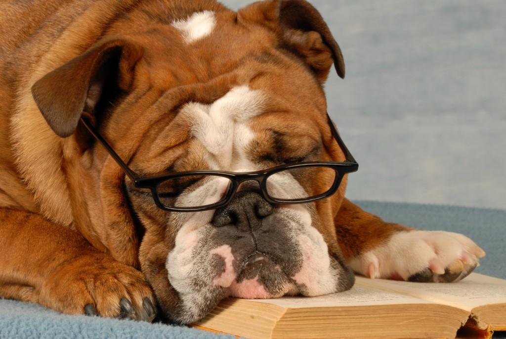 Bulldog Reading A Book
