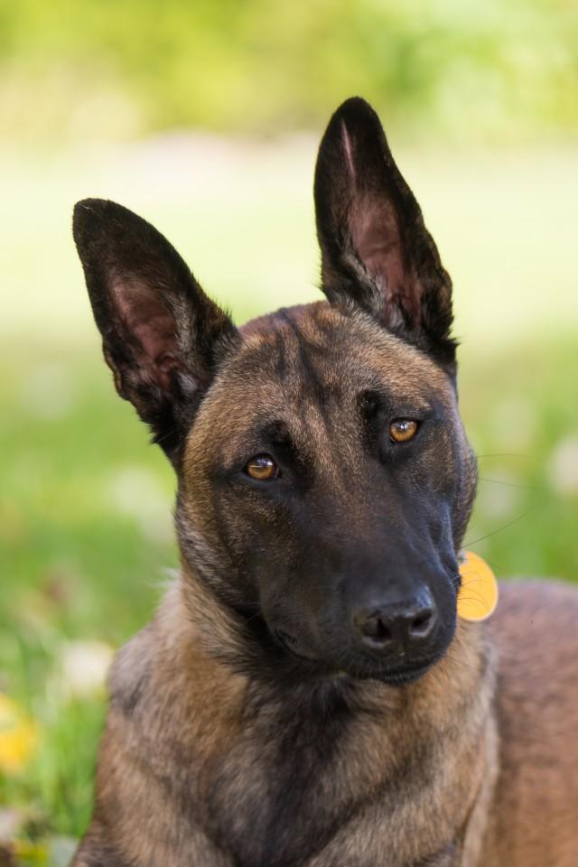 Belgian Malinois Dog Head Shot With Green Background