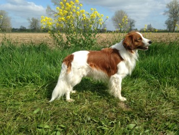 The Nederlandse Kooikerhondje, new to the Hound Group this year.