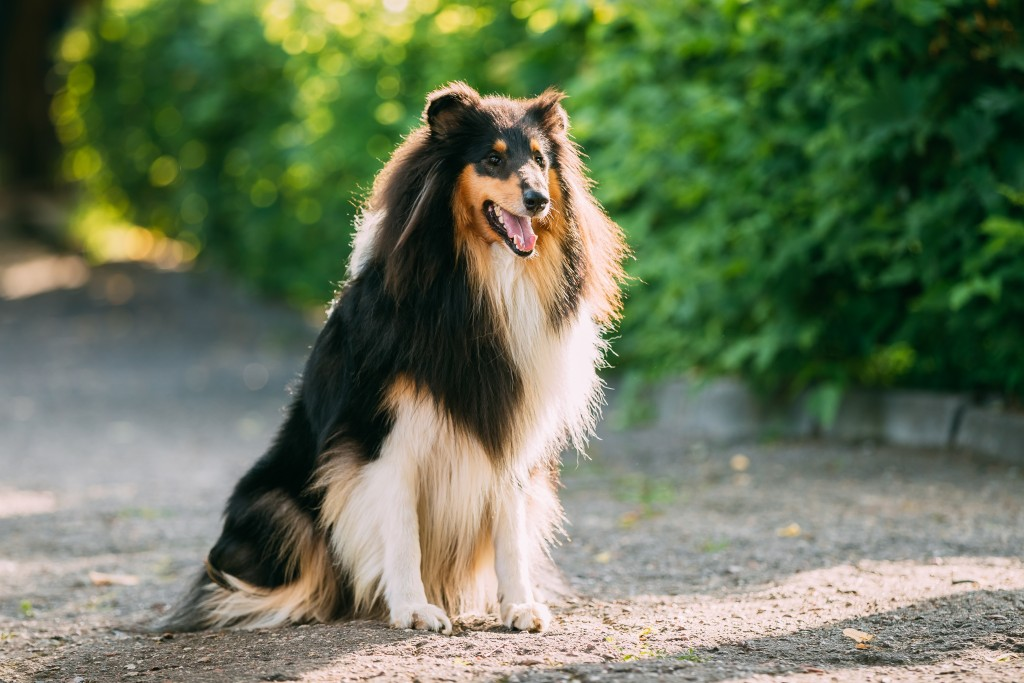 My pick to win this group:  the Rough Collie