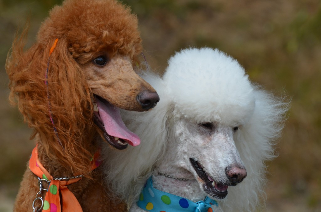 My pick to win this group:  the Standard Poodle