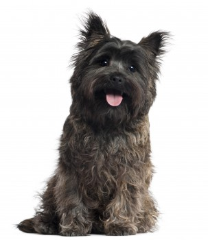 My pick to win this group:  the Cairn Terrier