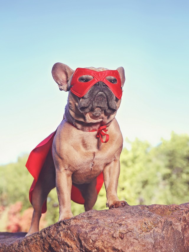 cute french bulldog in a super hero costume  toned with a retro