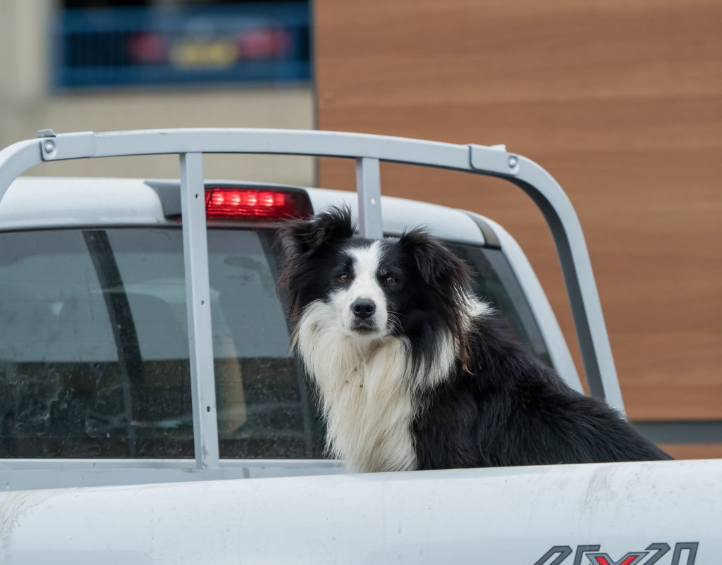 Black And White Border Collie In Open Back Of Utility Pickup Tru
