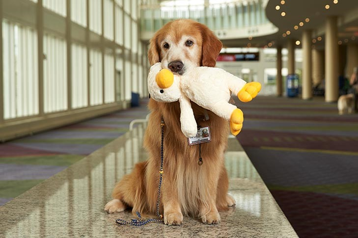 "2018 ACE Winner (Therapy Dog Category): ""Kol,"" Golden Retriever (Photo:  AKC)"
