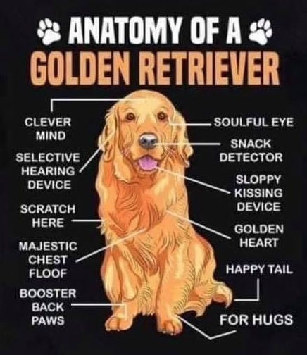 Golden anatomy