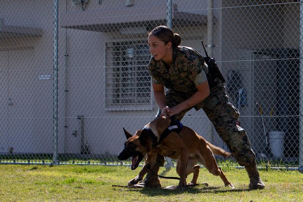 U.S. Marine Corps Lance Cpl. Angela Cardone, a military working dog handler with Headquarters and Headquarters Squadron, conducts training at Marine Corps Air Station Iwakuni, Japan, Oct. 19, 2018. (Seth Rosenberg/U.S. Marine Corps)