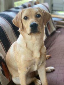 American Humane photo of Winnie, a service dog in training
