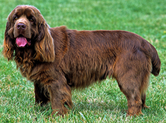 Sussex Spaniel Apartment Sussex Spaniel Breed
