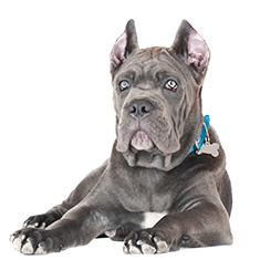Cane Corso Breed Information