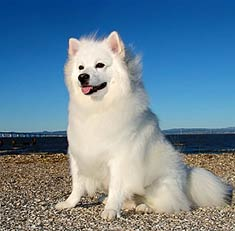 American Eskimo Dog Breed Information