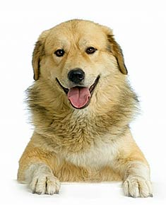 Anatolian Shepherd Dog Popular Dog