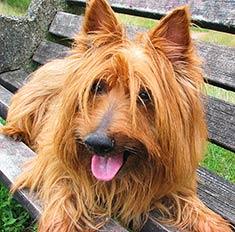 cute Australian Terrier dog