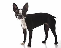 Boston Terrier Breed Information