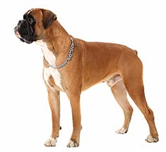 Boxer Breed Information