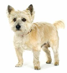Cairn Terrier For Sale In Florida Classifieds Buy And Sell In