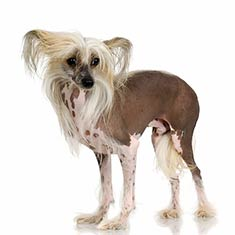 dog Chinese Crested