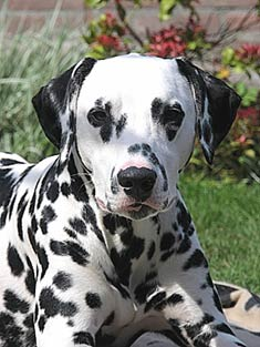 Male Dalmatians range from 22